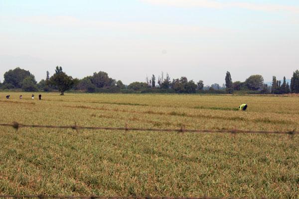 El trabajo de temporada representa una puerta de entrada de la población migrante en la provincia de Melipilla.